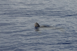 Our leatherback turtle pops his head up for a look
