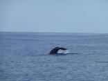 A whale fluke