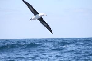One of many Albatross following Elinca south