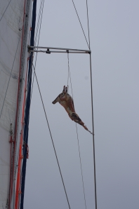 Falklands - our lamb (righty) in the rigging